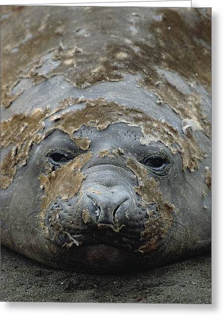 Elephant Seals Greeting Cards - Southern Elephant Seal Molting Greeting Card by Konrad Wothe