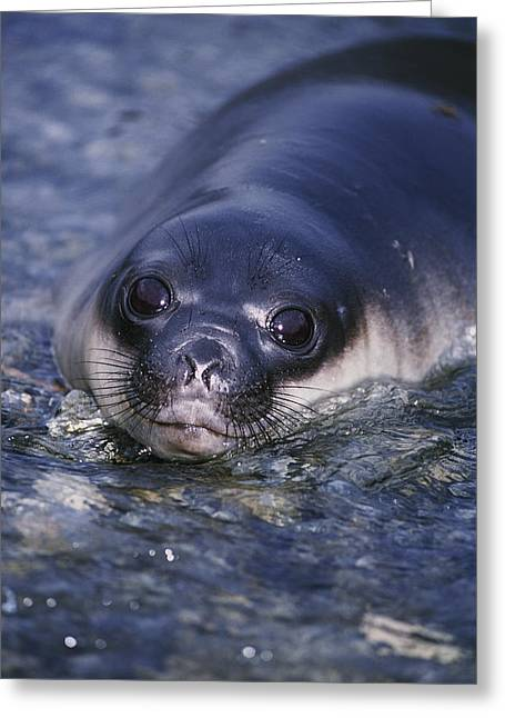 Elephant Seals Greeting Cards - Southern Elephant Seal Pup Lying Greeting Card by Johnny Johnson