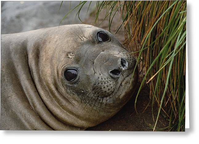 Elephant Seals Greeting Cards - Southern Elephant Seal Pup Portrait Greeting Card by Konrad Wothe