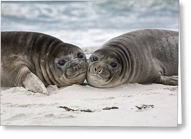 Elephant Seals Greeting Cards - Southern Elephant Seal Pups Falklands Greeting Card by Dickie Duckett