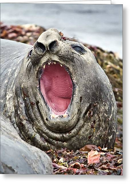 Elephant Seals Greeting Cards - Southern elephant seal roaring Greeting Card by Science Photo Library