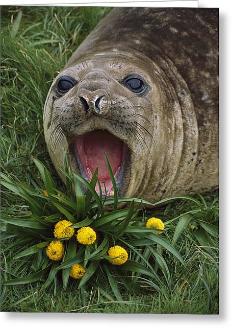 Elephant Seals Greeting Cards - Southern Elephant Seal Yearling Calling Greeting Card by Tui De Roy