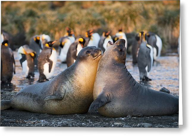Bull Elephant Seals Fighting Greeting Cards - Southern Elephant Seals Fighting South Greeting Card by Flip Nicklin