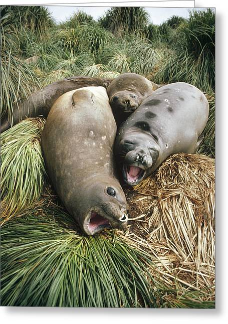 Elephant Seals Greeting Cards - Southern Elephant Seals In Tussock Greeting Card by Tui De Roy