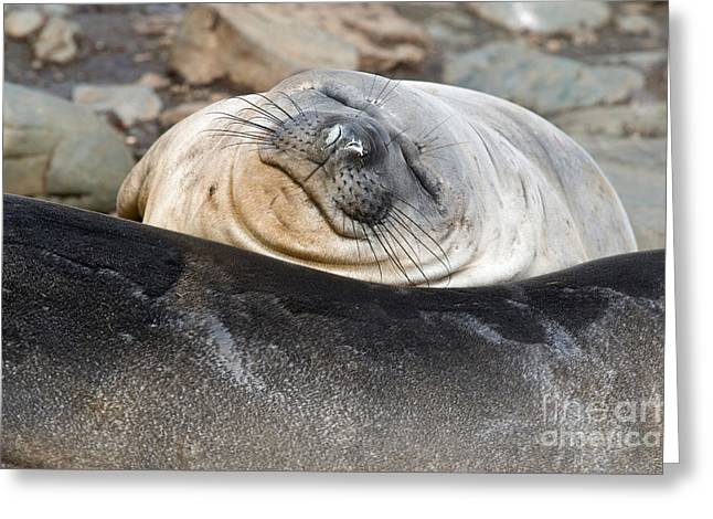 Elephant Seals Greeting Cards - Southern Elephant Seals Greeting Card by John Shaw