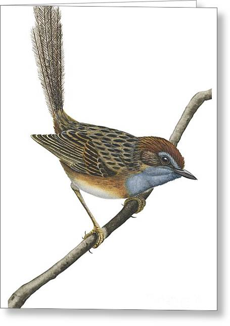 Vertical Drawings Greeting Cards - Southern emu wren Greeting Card by Anonymous