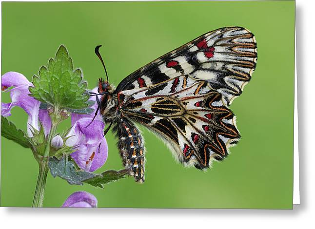 Thomas Marent Greeting Cards - Southern Festoon Butterfly Po Valley Greeting Card by Thomas Marent