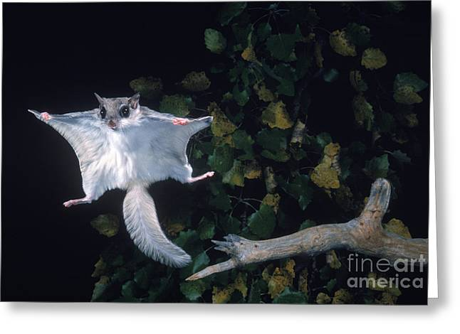 Southern Flying Squirrel Greeting Card by Nick Bergkessel Jr