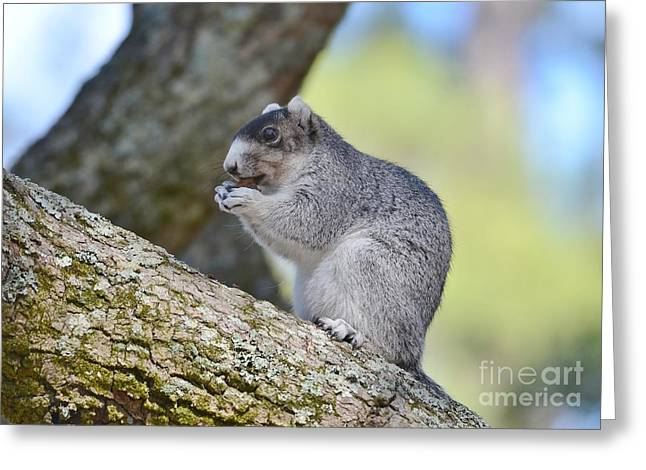 Fox Squirrel Greeting Cards - Southern Fox Squirrel Greeting Card by Kathy Baccari