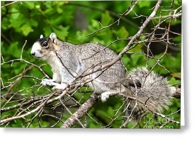 Fox Squirrel Greeting Cards - Southern Fox Squirrel On A Branch Greeting Card by Kathy Baccari