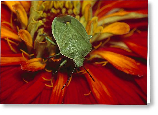 True Color Photograph Greeting Cards - Southern Green Stink Bug Greeting Card by Gerry Ellis