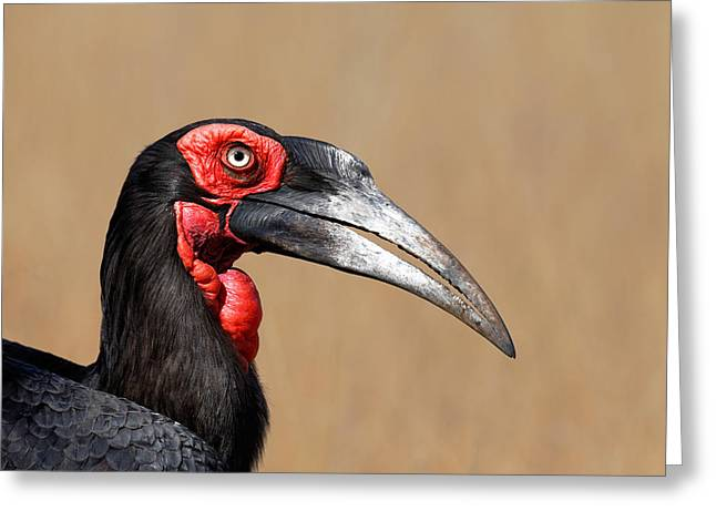 Shoulders Greeting Cards - Southern Ground Hornbill portrait side view Greeting Card by Johan Swanepoel