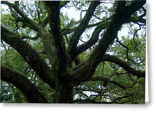 St Charles Avenue Greeting Cards - Southern Live Oak Greeting Card by Christopher James