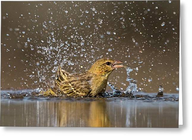 Southern Masked Weaver Bathing Greeting Card by Tony Camacho