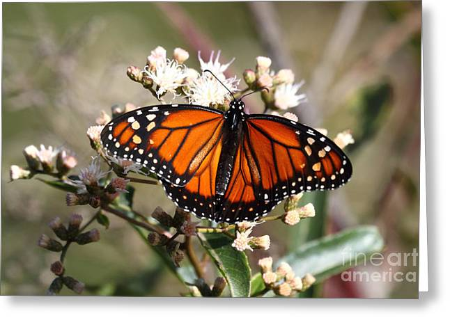 Neotropics Greeting Cards - Southern monarch butterfly Greeting Card by James Brunker