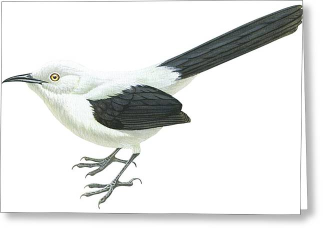 White Background Drawings Greeting Cards - Southern Pied babbler  Greeting Card by Anonymous