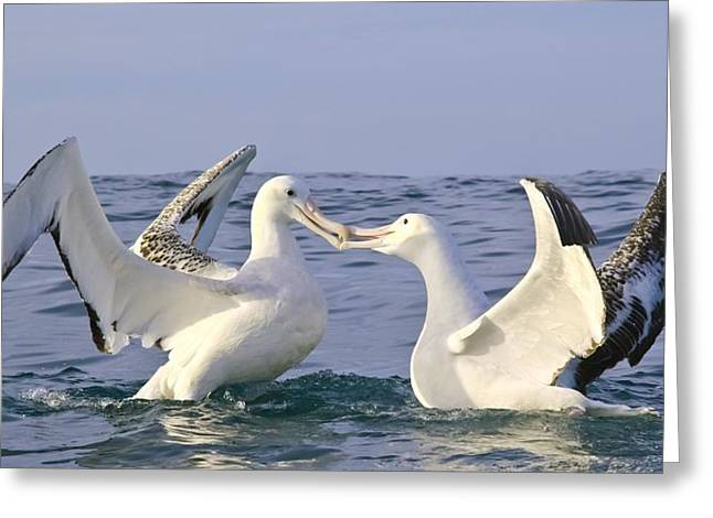 Sea Birds Greeting Cards - Southern royal albatross greeting Greeting Card by Science Photo Library