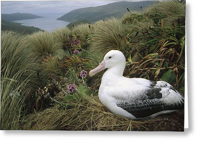 Diomedeidae Greeting Cards - Southern Royal Albatross Nesting Greeting Card by Tui De Roy