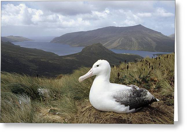 Southern Royal Albatross On Nest Greeting Card by Tui De Roy
