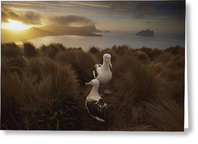 Diomedeidae Greeting Cards - Southern Royal Albatrosses Courting Greeting Card by Tui De Roy