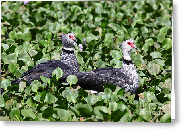Paraguay Greeting Cards - Southern Screamers Greeting Card by James Brunker