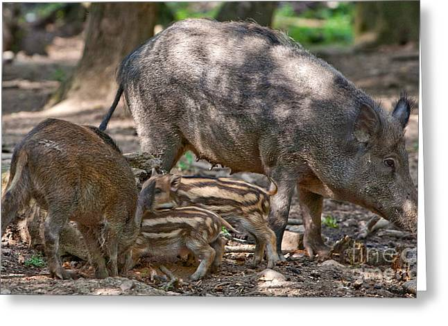 Piglets Greeting Cards - Sow with her piglets Greeting Card by Iris Richardson