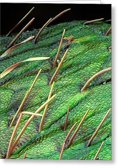 Soybean Leaf Trichomes Greeting Card by Stefan Diller