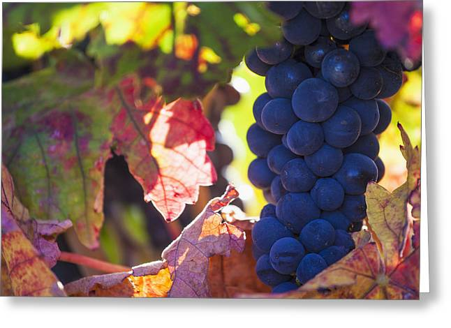 Grape Vineyard Greeting Cards - Spain, Ripe Red Grape In Vineyard La Greeting Card by Carlos Sanchez Pereyra