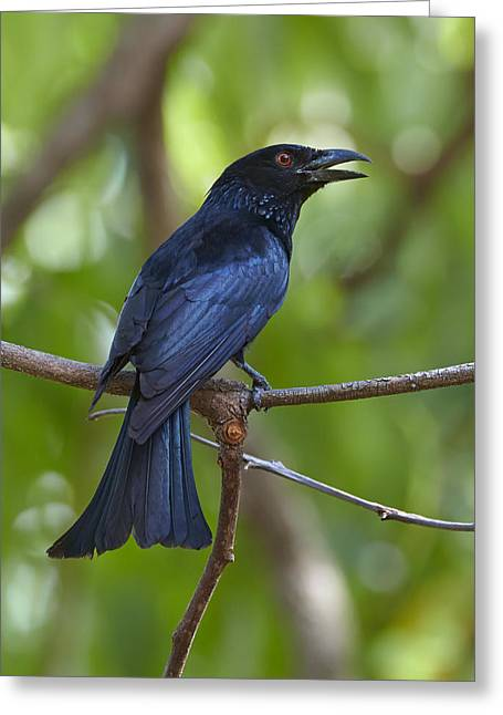 Spangled Drongo Calling Queensland Greeting Card by Martin Willis