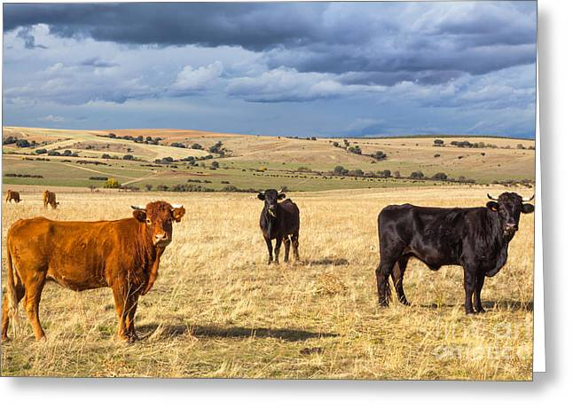 Black Angus Calf Greeting Cards - Spanish Bulls Greeting Card by JR Photography