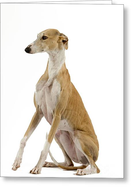Greyhound Dog Greeting Cards - Spanish Galgo Greeting Card by Jean-Michel Labat