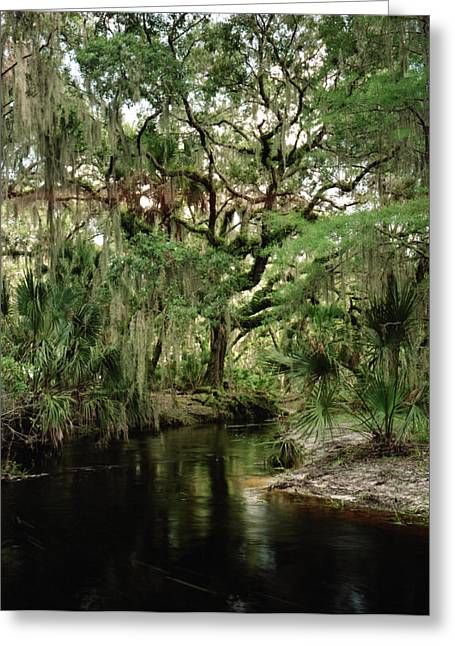 Chris Kusik Greeting Cards - Spanish Moss and Oak. Three Lakes W.M.A. Greeting Card by Chris  Kusik