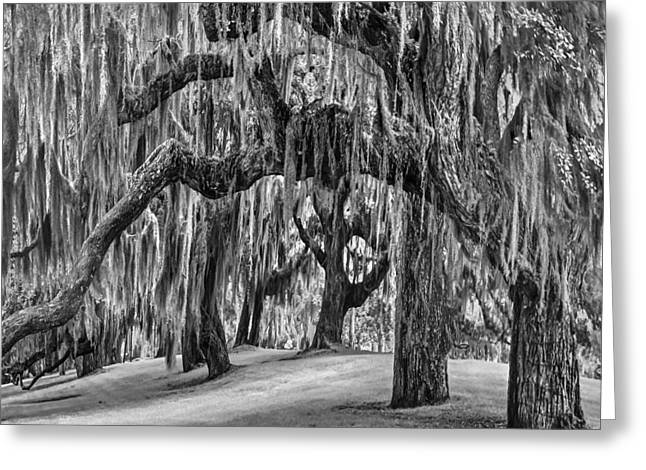 Tropical Beach Greeting Cards - Spanish Moss in Black and White Greeting Card by Debra and Dave Vanderlaan