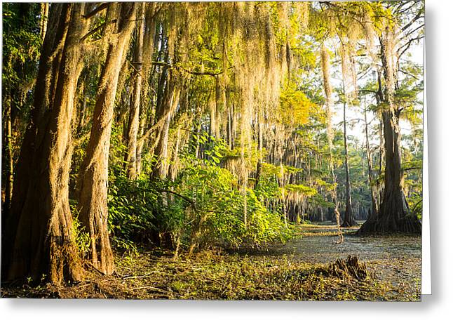 Bald Cypress Greeting Cards - Spanish moss in the morning sun Greeting Card by Ellie Teramoto