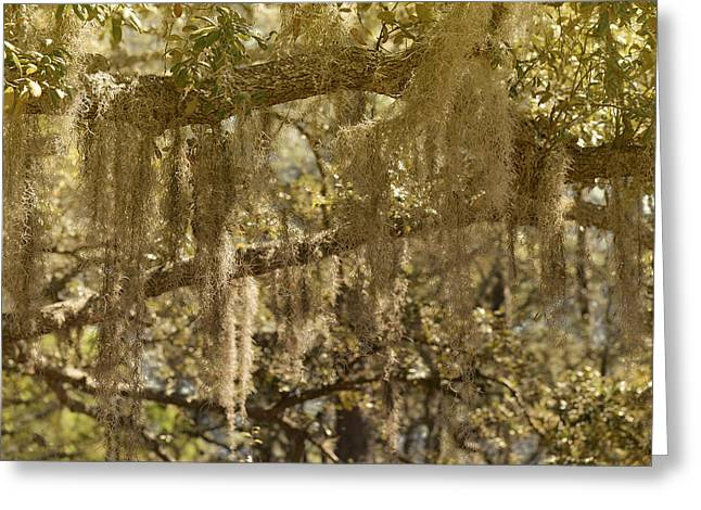 Moss Man Greeting Cards - Spanish Moss on Live Oaks Greeting Card by Christine Till
