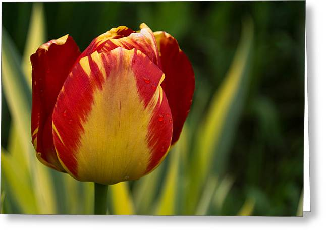 Sparkles And Warmth - A Red And Yellow Tulip In The Spring Rain Greeting Card by Georgia Mizuleva
