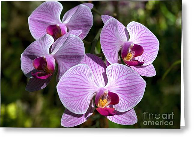 Golden Pink Orchid Greeting Cards - Sparkling Blooms  Greeting Card by Kerryn Madsen-Pietsch