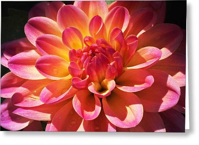 Sparkling Dahlia Greeting Card by Rona Black