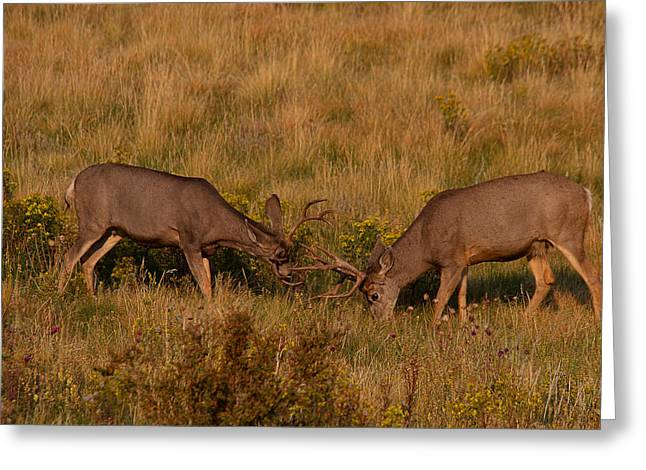 Mule Deer Buck Photograph Greeting Cards - Sparring Partners Greeting Card by Jim Garrison