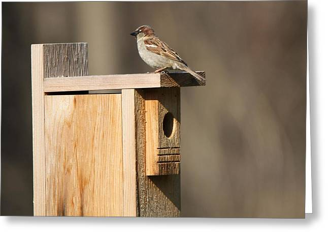 Sparrow Greeting Cards - Sparrow On A Birdhouse Greeting Card by Dan Sproul