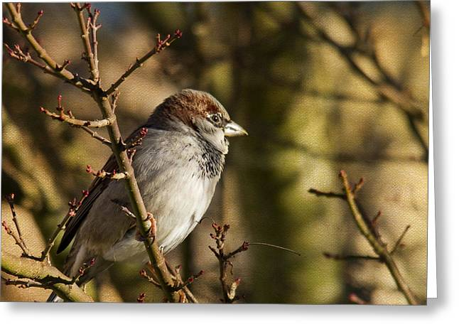 Brown Birds Greeting Cards - Sparrow Greeting Card by Rebecca Cozart