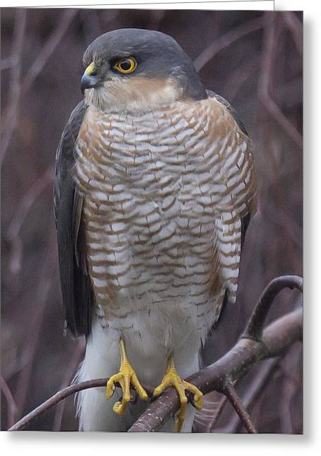 Striped Pyrography Greeting Cards - Sparrowhawk  Greeting Card by John Richardson
