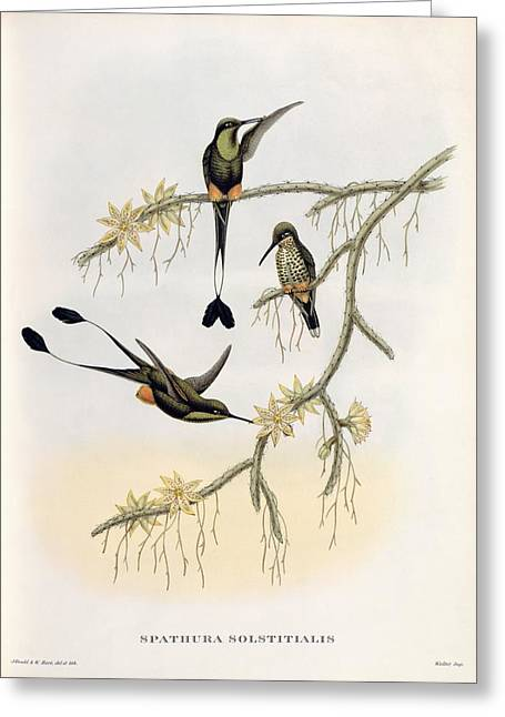 Gould Greeting Cards - Spathura Solstitialis Greeting Card by John Gould