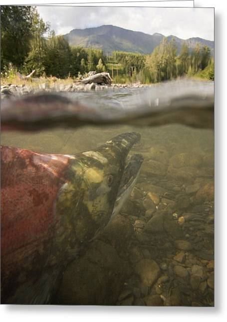 Sockeye Greeting Cards - Spawned Out Sockeye Salmon In Quartz Greeting Card by Scott Dickerson