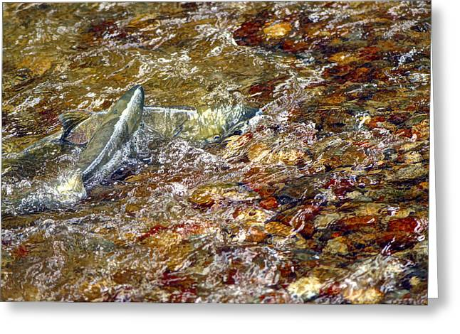 Spawning Chum Greeting Card by Sharon Talson