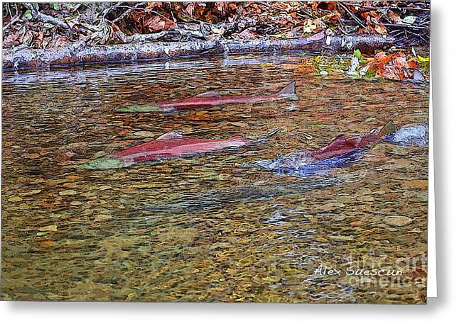 Rainbow Trout Drawings Greeting Cards - Spawning Sockeyes Greeting Card by Alex Suescun
