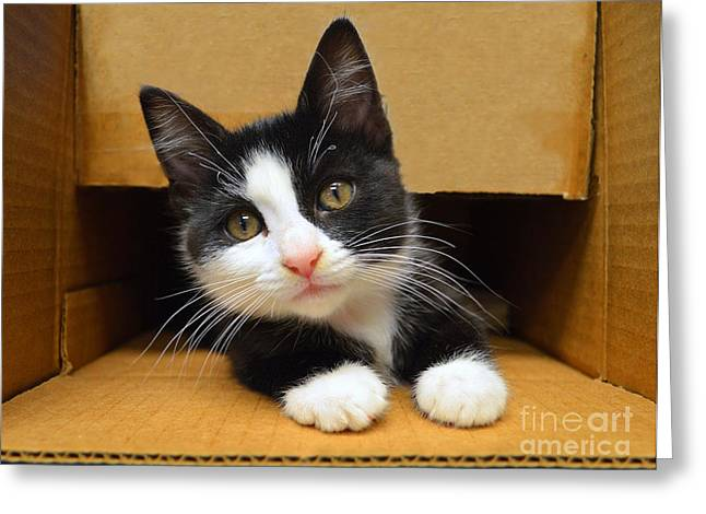 Catherine White Greeting Cards - Special Delivery Tuxedo Kitten Greeting Card by Catherine Sherman
