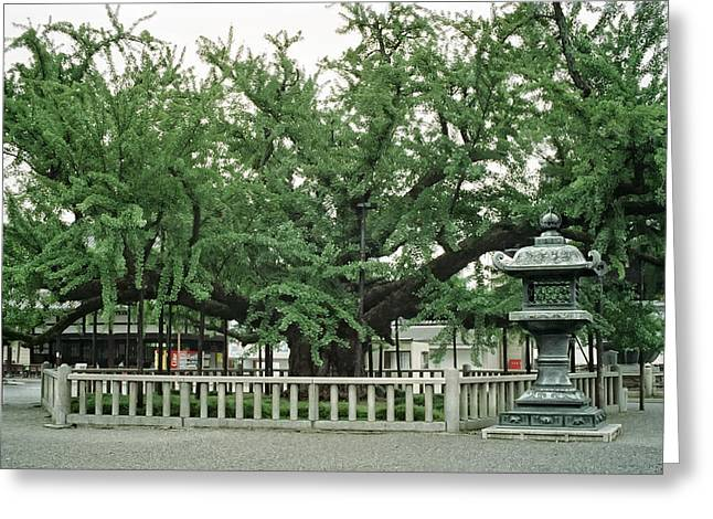 """spreading Tree"" Greeting Cards - SPECIMEN TREE in TEMPLE COURTYARD - KYOTO JAPAN Greeting Card by Daniel Hagerman"