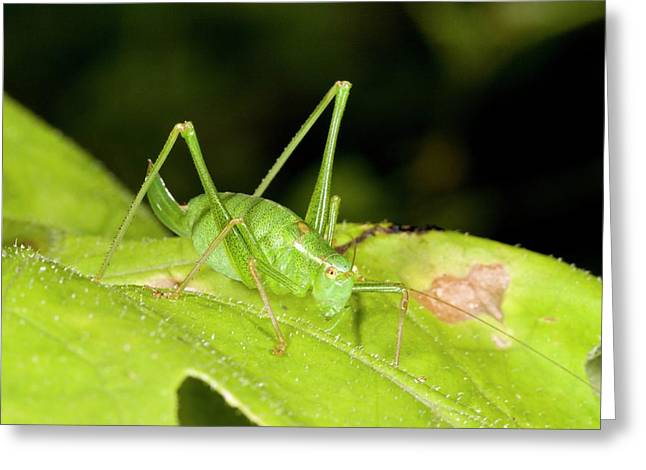 Speckled Bush-cricket On Corncockle Greeting Card by Bob Gibbons