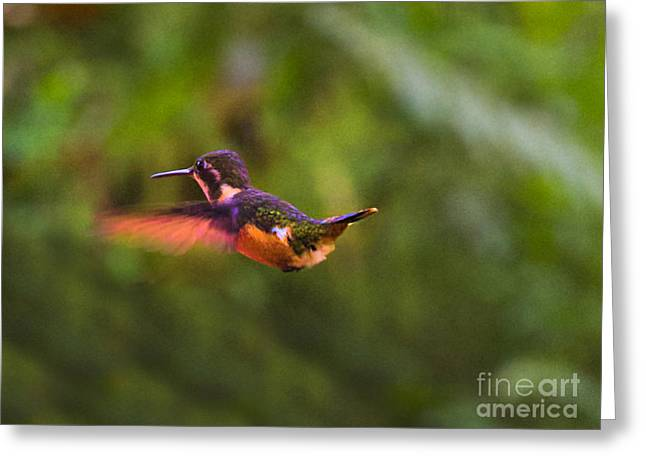 Hovering Greeting Cards - Speckled Hummingbird in Mindo Ecuador Greeting Card by Al Bourassa